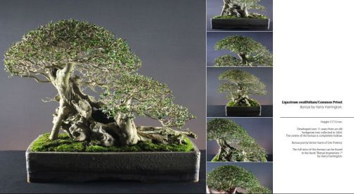 Magnolia Bonsai Species Guides