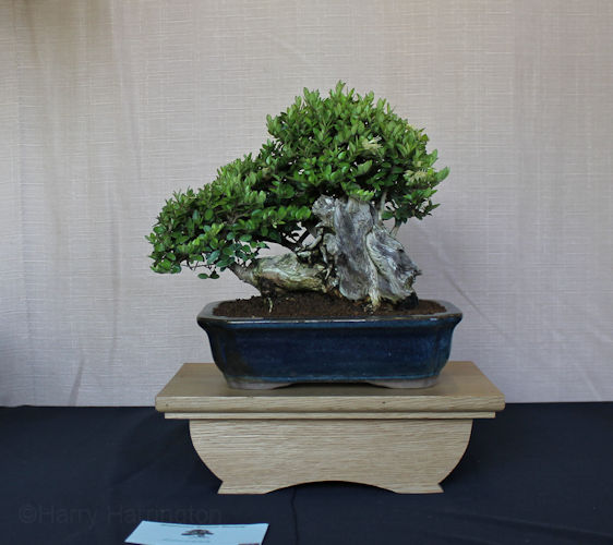 Middlesex bonsai society annual show