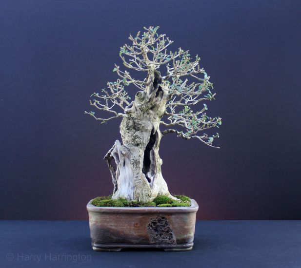 Ligustrum ovalifolium/Privet Bonsai Images