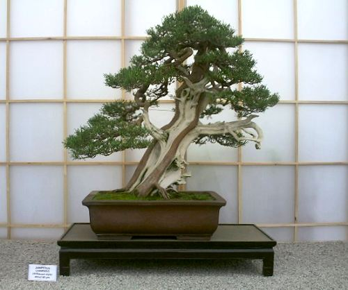 juniperus bonsai gallery: