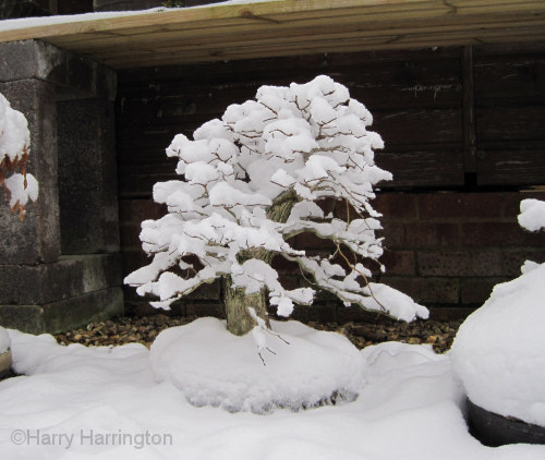 Elm bonsai in winter