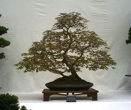 Acer palmatum/Japanese Maple