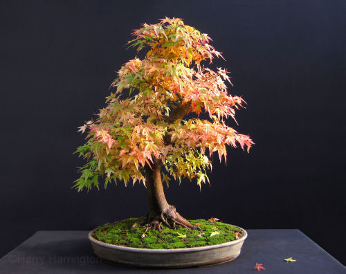 Japanese Maple bonsai in autumn