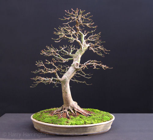 japanese maple bonsai autumn winter images rh bonsai4me com Bonsai Copper Wire Bonsai Styles