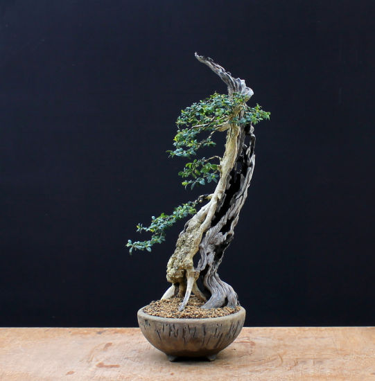 Buxus sempervirens / Boxwood Bonsai