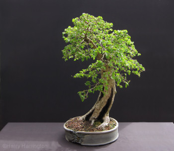 Ulmus Bonsai Species Guides