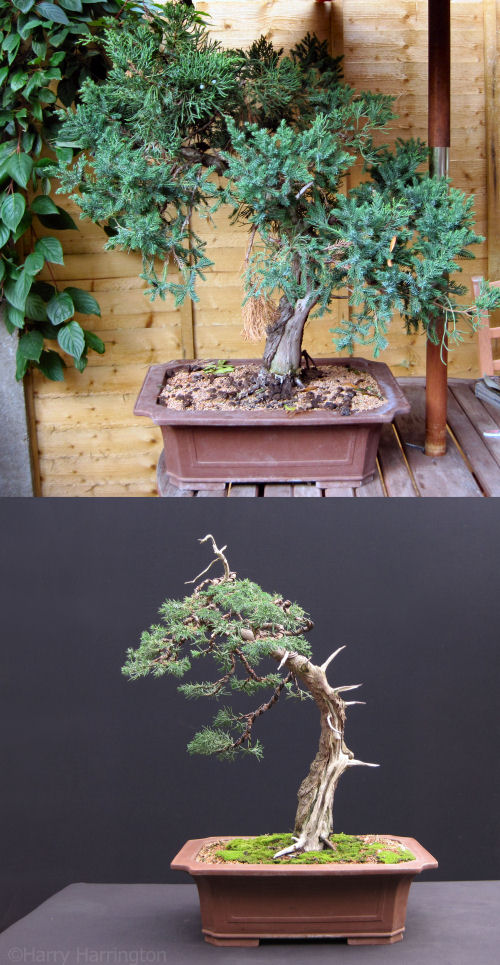 juniper bonsai styling