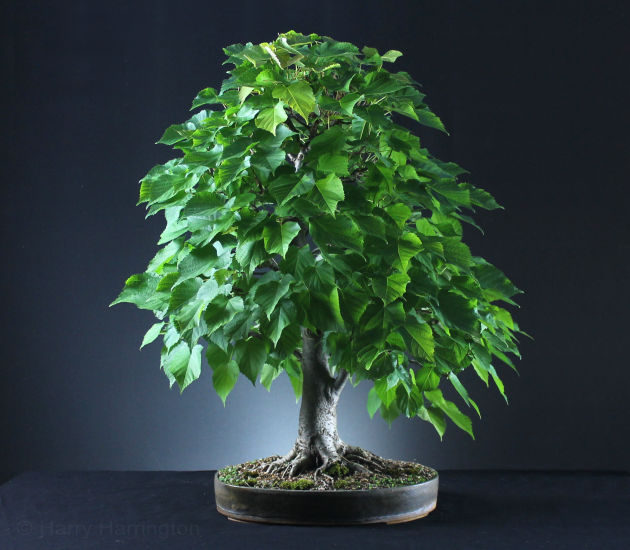 Lime bonsai