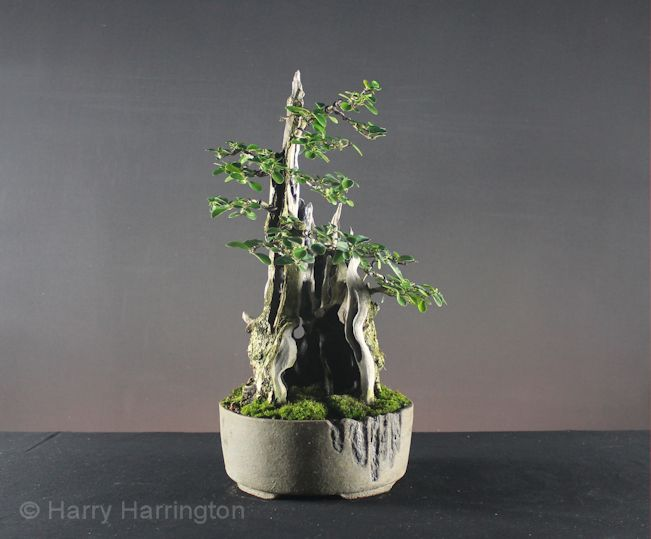 birch bonsai