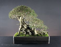 privet bonsai images