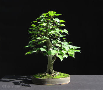 tilia linden lime bonsai