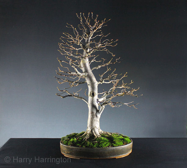 Lime Linden bonsai