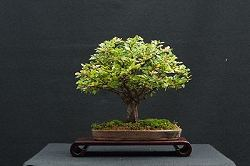 Chinese Elm Bonsai/Harry Harrington