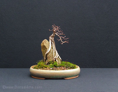 shohin elm over rock bonsai