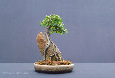 elm over rock bonsai