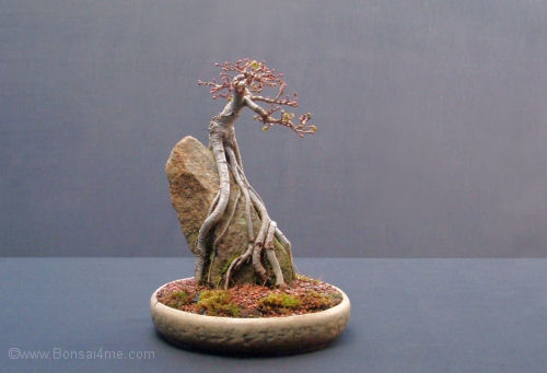 elm root over rock bonsai