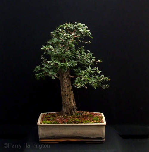 Common Hawthorn Bonsai/Crataegus monogyna