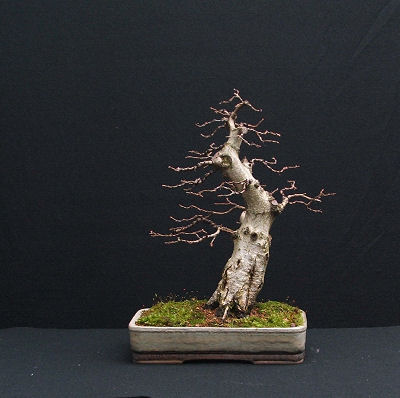 Korean Hornbeam/Carpinus turczaninowii Bonsai