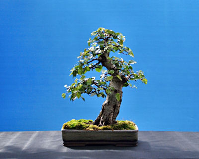 KOREAN HORNBEAM/ Carpinus turczaninowii bonsai