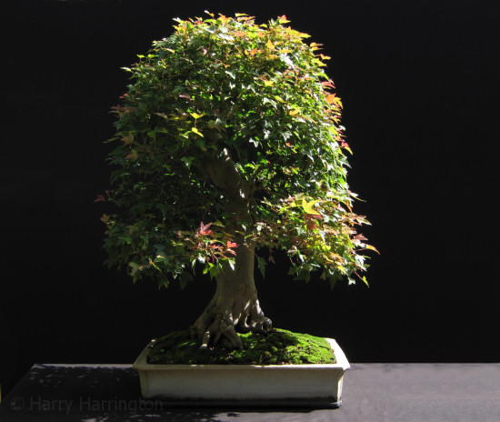 Acer Buergerianumtrident Maple Bonsai Species Guides