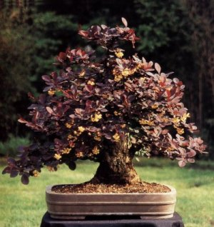 Berberis Barberry Bonsai