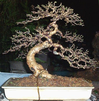 Carmona Fukien Tea Bonsai