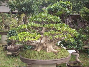 Ficus Fig Bonsai