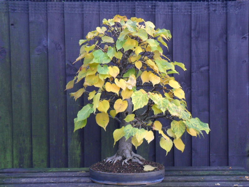 Linden bonsai
