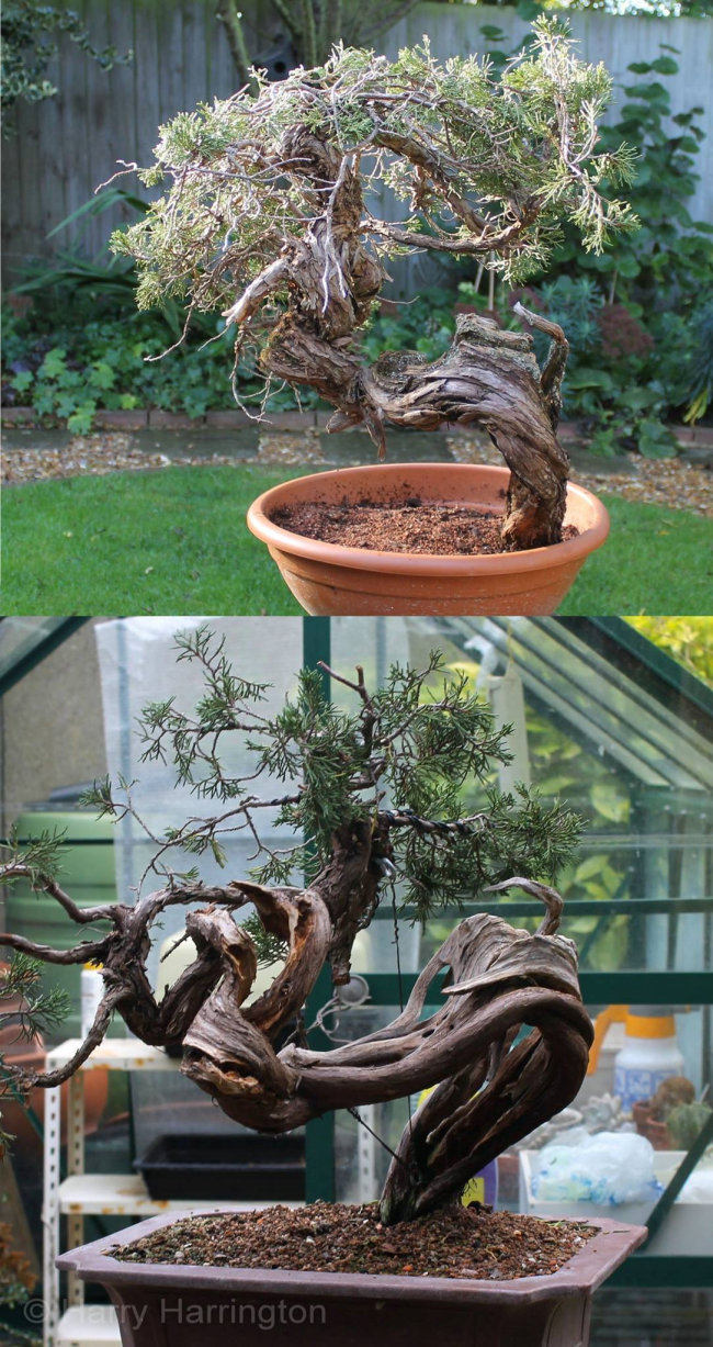 juniper sabina bonsai