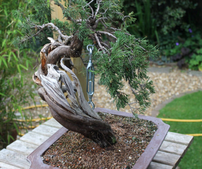 juniper bonsai bending