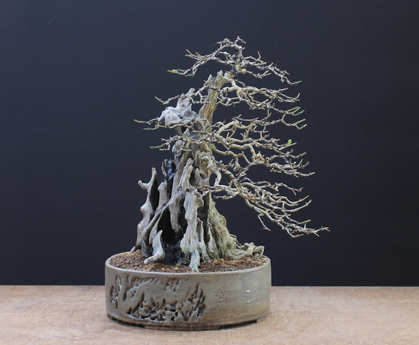 privet bonsai deadwood superglue