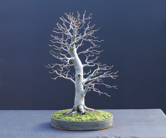 tilia bonsai