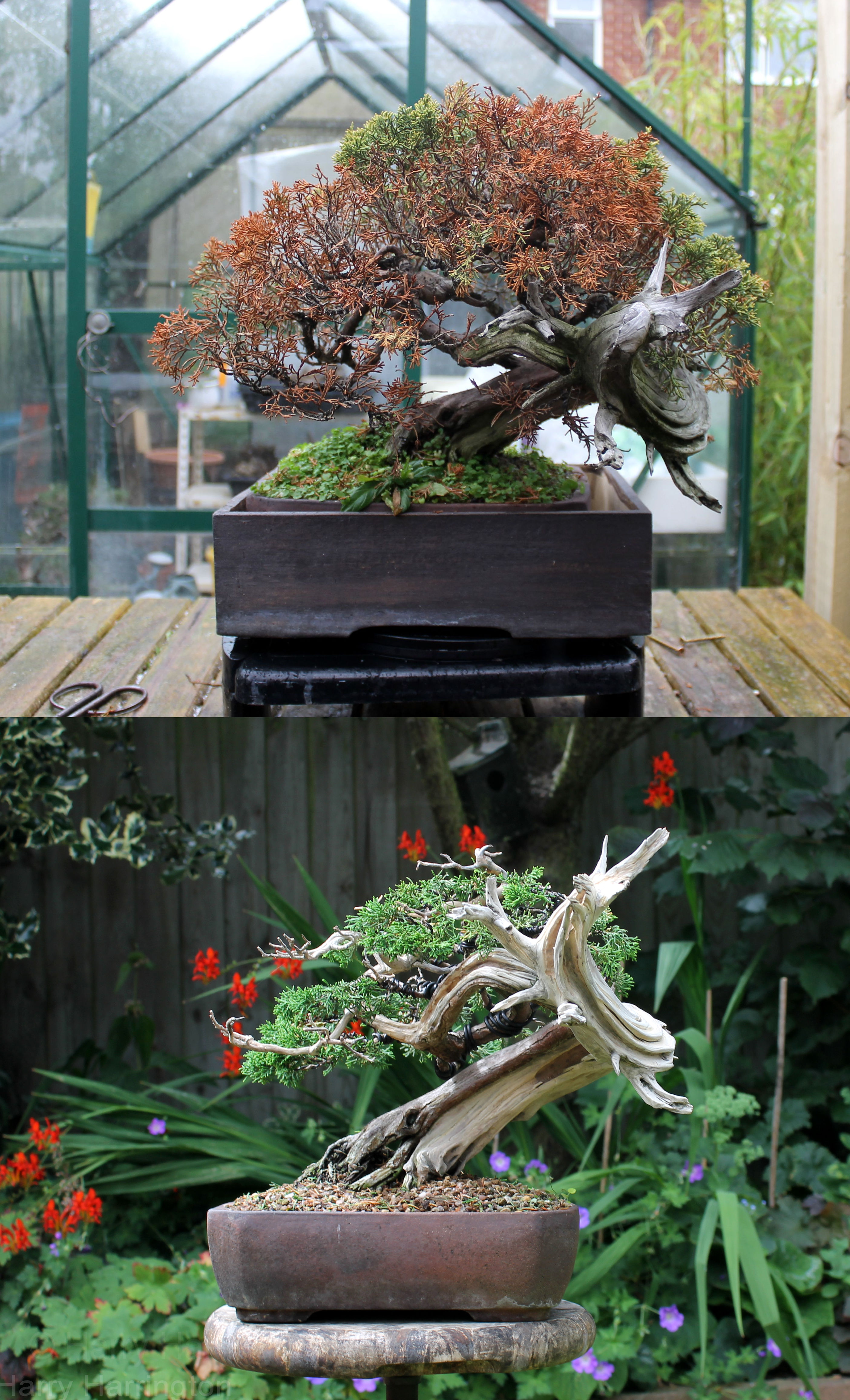 Bonsai Lessons Wiring Lesson Dying Juniper