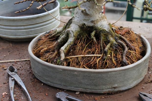Roots Maple bonsai