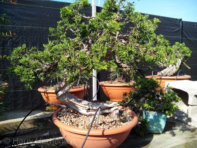 Juniper sabina bonsai styling