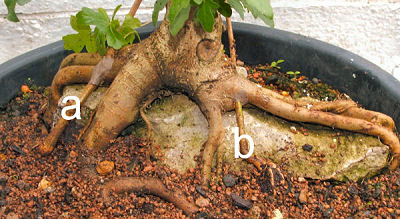 root over rock Field Maple (Acer campestre) bonsai above