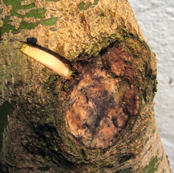 Cambium Layer Grafting http://www.narvan67.blogfa.com/post-164.aspx