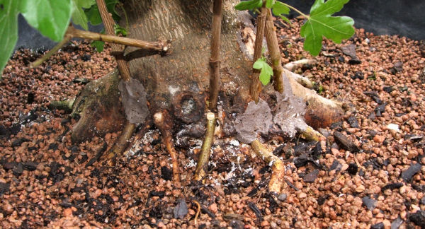 Four field maple seedlings approached-grafted to the back of a much larger field maple bonsai