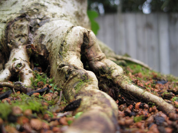 field maple bonsai root