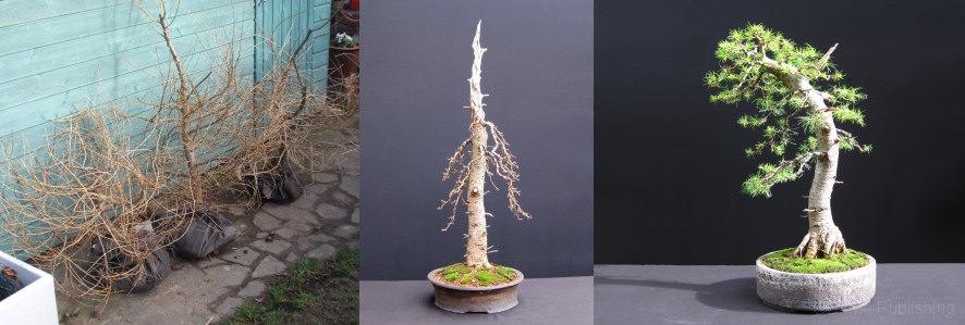 bonsai book larch