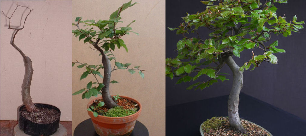 beech bonsai development