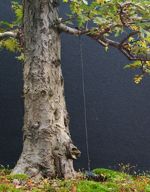 Bonsai Guy wire