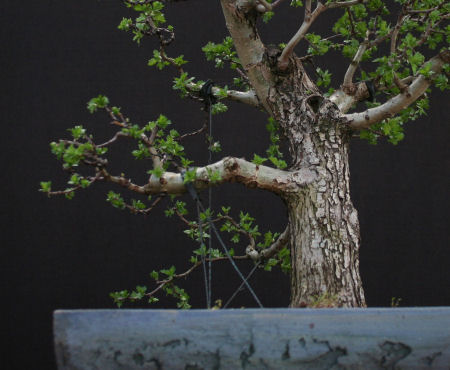 hawthorn bonsai branch