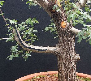 Hawthorn bonsai branch splitting