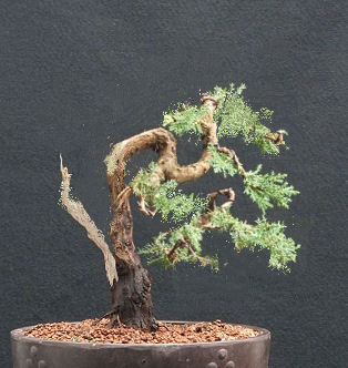 http://www.bonsai4me.com/Images/ATBendingThickBranchesPartThree/juniper%20after%20bending.jpg