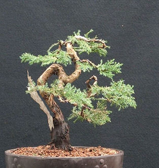 Juniper bonsai splitter