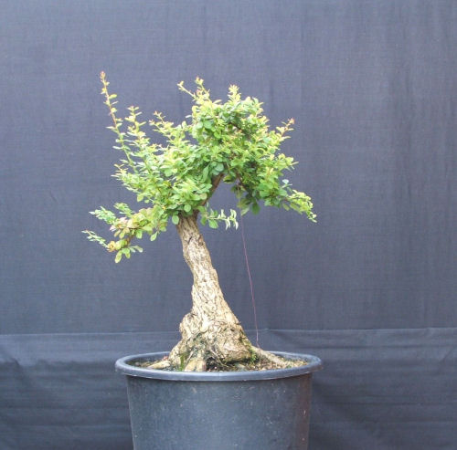 berberis bonsai summer