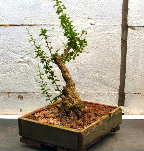 bonsai styling