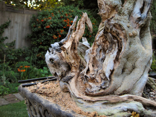 privet bonsai deadwood