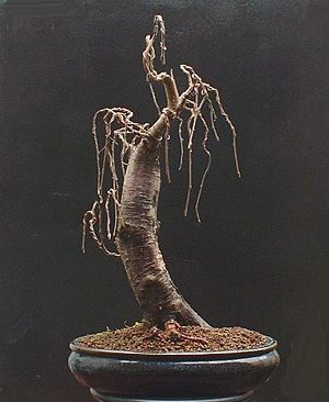 Betula pubescens/Downy Birch Bonsai Progression Series